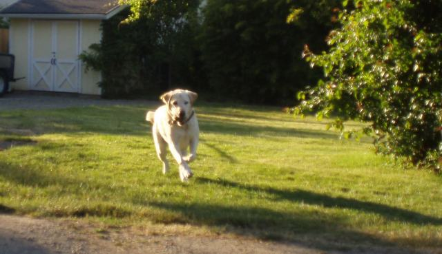 Soske Mic 00Charlie running in yard from 8